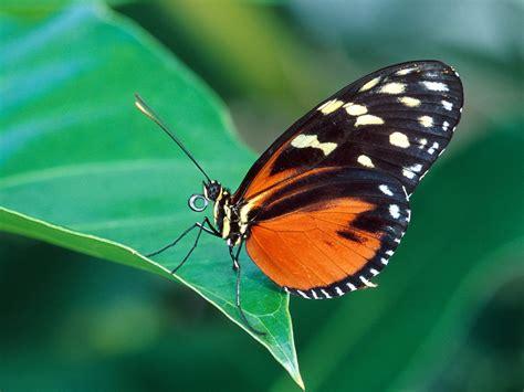 imagenes de mariposas posadas en flores 녹색 잎에 붉은 색과 검은 나비 배경 화면 1600x1200 배경 화면 다운로드 kr best