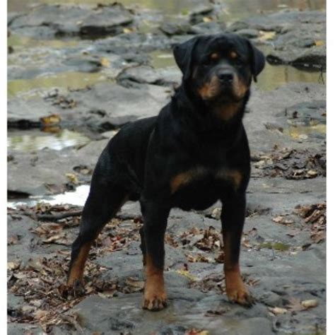 rottweiler rescue edmonton rottweiler breeders and kennels freedoglistings