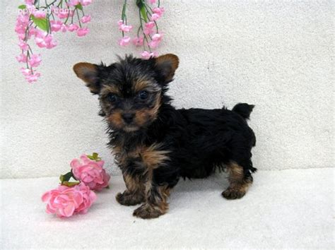 teacup yorkie puppies for sale in ky yorkie paducah ky breeds picture