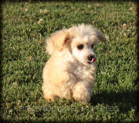 puppy finder iowa view ad poodle miniature puppy for sale iowa wayland usa