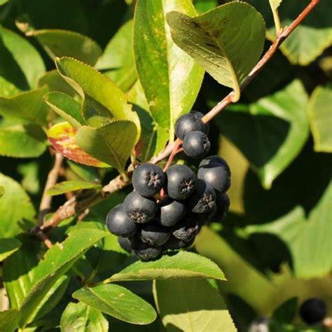 Arbuste Baies Noires by Arbuste Caduc Liste Ooreka
