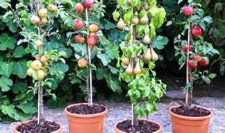 Passion Fruit Trees Growing - să crești pomi columnari chiar acasă la tine casoteca