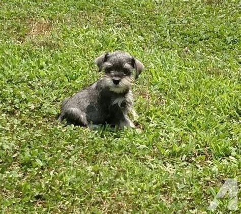 schnauzer puppies for sale in tn schnauzer puppies teacup size for sale in lawrenceburg tennessee classified
