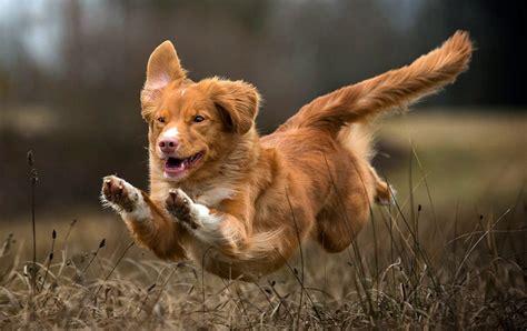 nova scotia duck tolling retriever dog breed information nova scotia duck tolling retriever information dog breed