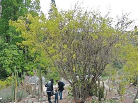 Botanical Gardens Northern California Plantfiles Pictures Chilean Mesquite Prosopis Chilensis By Xenomorf