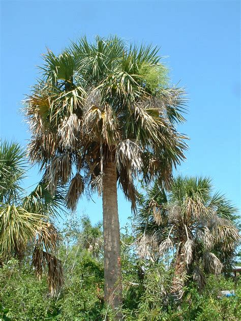 Delaware State Flower by Sabal Palmetto State Symbols Usa