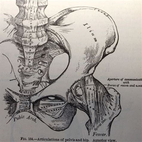 Drawing Anatomy by Vintage Anatomical Drawing Illustration Pelvis