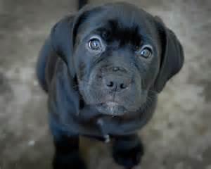 abandoned puppy the gallery for gt labrador retriever black