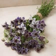 20 Benih Biji Bunga Blue Chicory benih pacar air merah 20 biji non retail bibitbunga