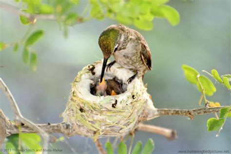 hummingbird nest cam 2013