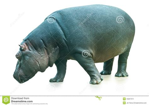 Hippopotamus In White Background hippopotamus isolated on white background stock photo