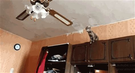 Cat In Ceiling Fan by He Looks So Proud Of Himself At The End