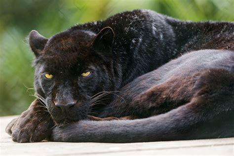 leopard black panther cat  tambako  jaguar hd wallpaper
