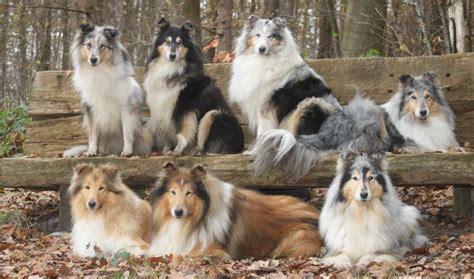 herding breeds herding dogs list of all herding breeds k9 research lab