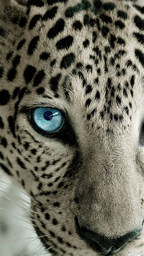 wallpaper iphone 5 leopard snow leopard blue eye best htc one wallpapers