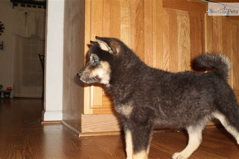 shiba inu puppies bay area shiba inu puppy for sale near ta bay area florida 63e5bf3c 1001