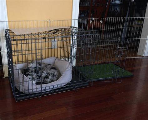 puppy pees in crate preparing for your new aussiedoodle puppy