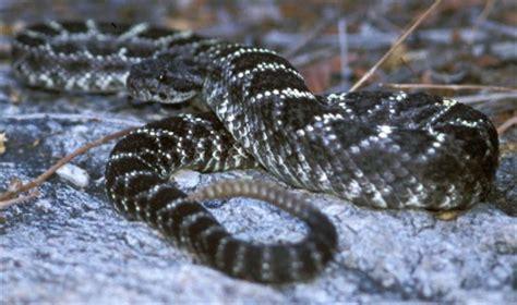 black and white diamond pattern snake snakes saguaro national park u s national park service