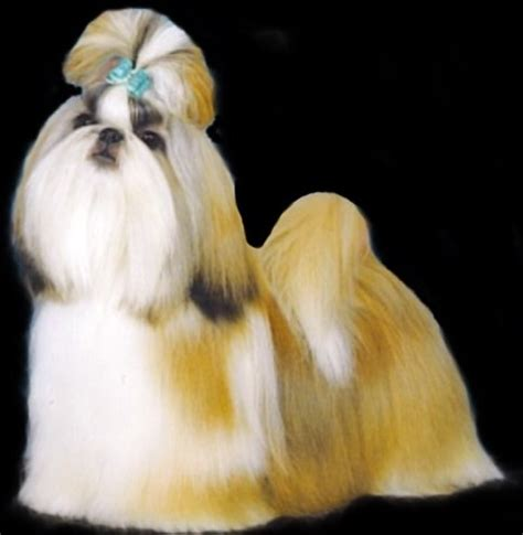 canadian shih tzu club top 10 shih tzu puppies 2008