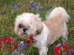 shih tzu lhasa apso cross more about the shih tzu lhasa apso mix aka the shih apso dogable