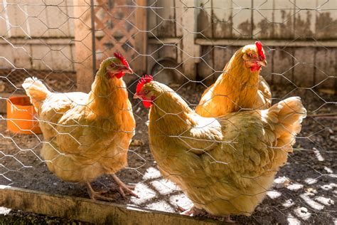 you can now keep hens in your backyard in toronto