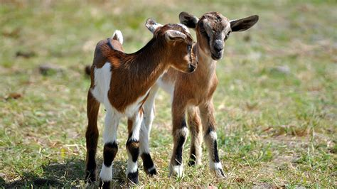 The Nanny Goat S Kid baby goats critter babies
