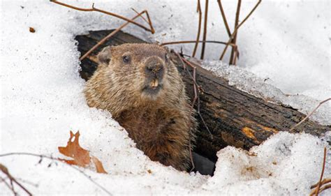 groundhog day german title 10 interesting facts about groundhogs