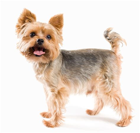 yorkie shoo and conditioner how to groom a cotton coated yorkie 1000 ideas about terrier haircut on