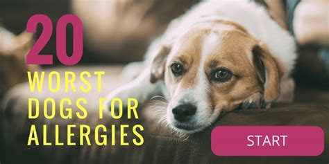 worst dogs for 20 worst dogs for allergies