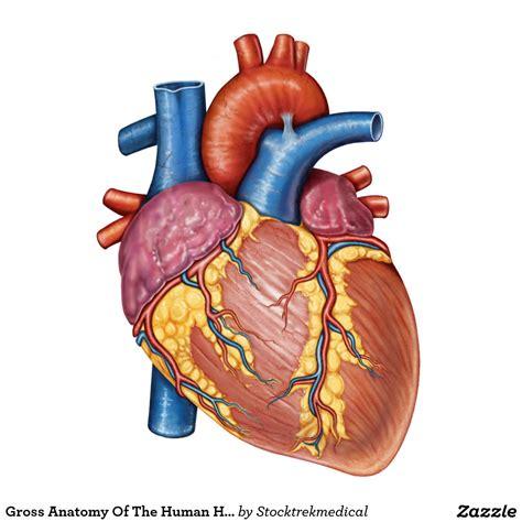 imagenes de corazones del cuerpo humano im 225 genes informativas del coraz 243 n humano banco de