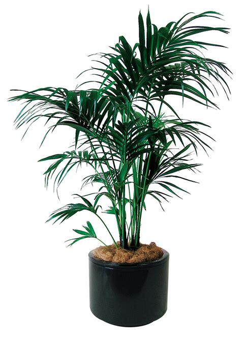 indoor palm indoor plants floor plants gaddys indoor plant hire
