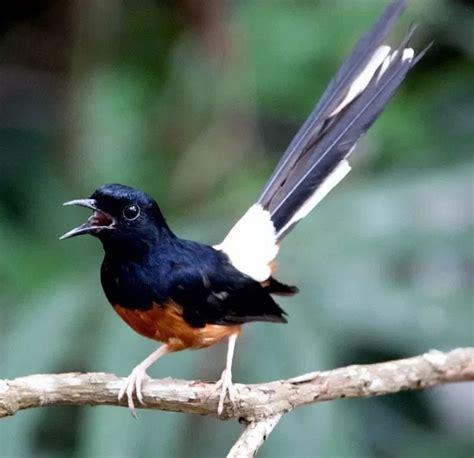 jenis burung murai batu terpopuler  indonesia