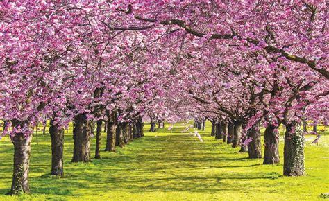 alberi in fiore carta da parati alberi in fiore europosters it