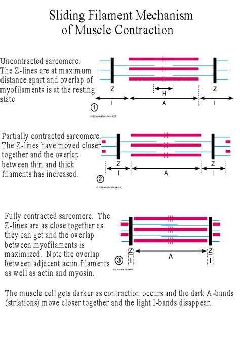 filament diagram myofilament images frompo 1