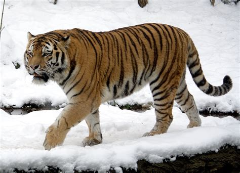 the tiger and the acrobat books siberian tiger quest documentary