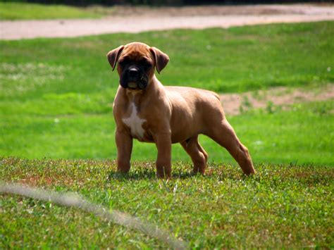 muscular dogs muscular boxer puppy on grass wallpapers and images wallpapers pictures photos