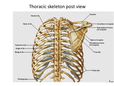 thoracic cage diagram ant thoracic wall and intercostal space
