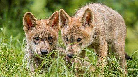 9 best images about wolf these wolves are born gamblers unlike cautious dogs science aaas
