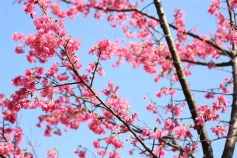 wallpaper daun sakura gambar wallpaper bunga sakura jepang gudang wallpaper