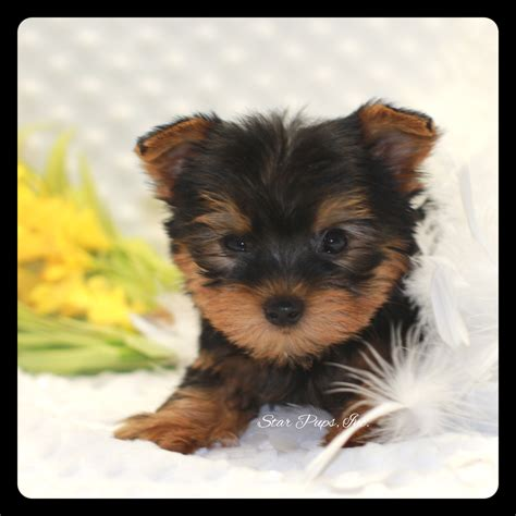 all black yorkie terrier m black sold pups
