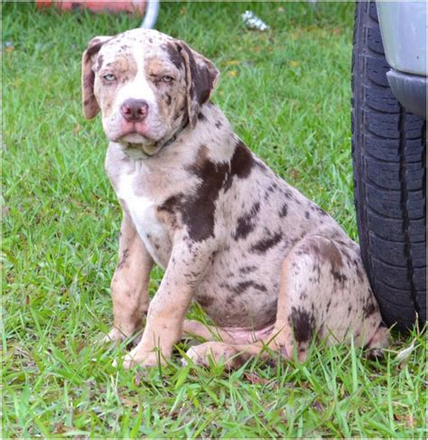 Catahoula Shedding by Catahoula Breed Temperament Breeds Picture