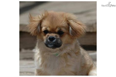 tibetan spaniel puppies sale tibetan spaniel puppy for sale near boulder colorado ecfd8aa8 bb81
