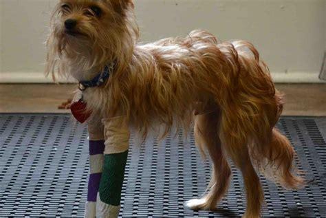 yorkie broken leg fundraiser by maureen curry help for the yorkie 2 broken legs