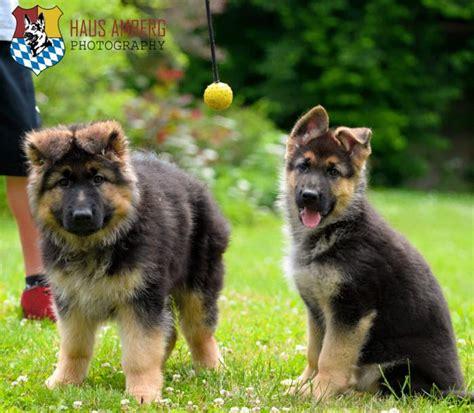german shepherd puppies california german shepherd puppies lemoore ca dogs in our photo