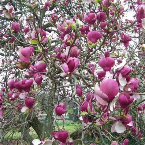 magnolia in vaso magnolia soulangeana vaso 216 24cm vendita piante