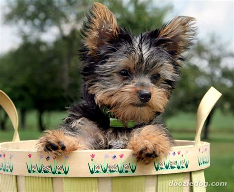 types of yorkies breeds photos of different breeds of yorkie dogs breeds picture