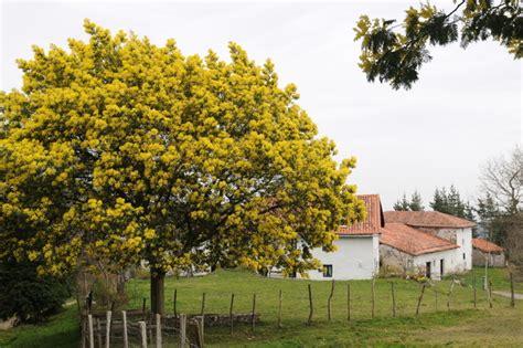 Arbre Grande Taille Croissance Rapide by Quand Planter Un Mimosa