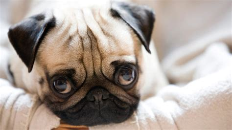 where do pug dogs originate from top 10 recommended small indoor dogs the organised
