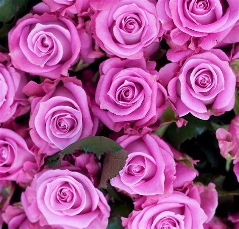 roses are our roses apko nurseries