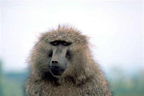 baboon papio animals   animals